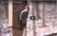 Video Woodpeckers